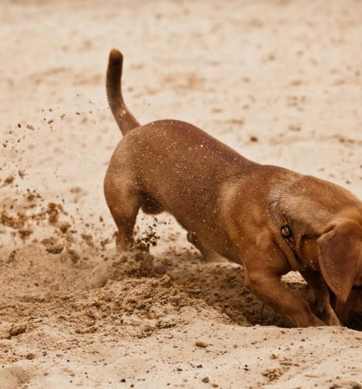 cane sabbia vermi