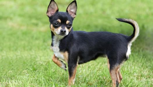 """Cosa dice la coda del cane? Un corso accelerato di """"scodinzolamento"""""""