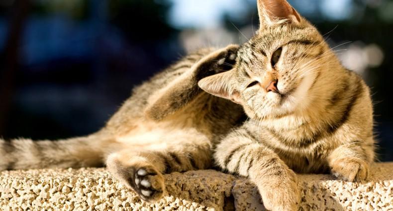 le pulci nel gatto portano i vermi
