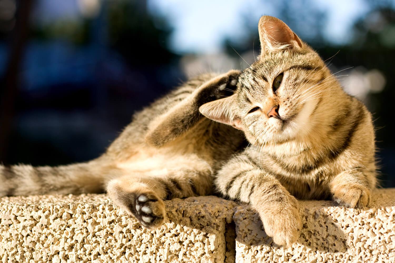 Sai che le pulci del gatto portano i vermi meglio - Che malattie portano i gatti ...