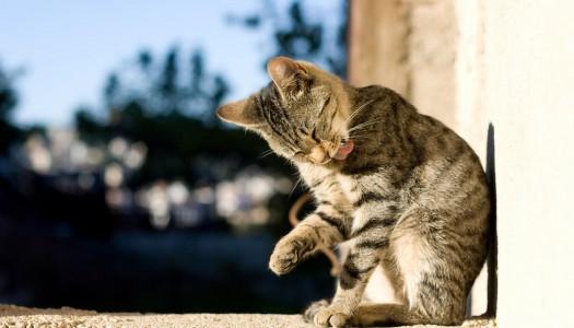 Pulci del gatto: 5 segnali ai quali fare attenzione