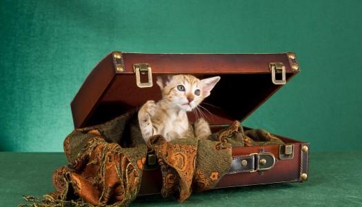 In vacanza con il gatto? Ecco cosa portare