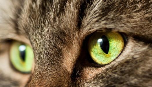 Pulire gli occhi al gatto è importante per la sua salute!