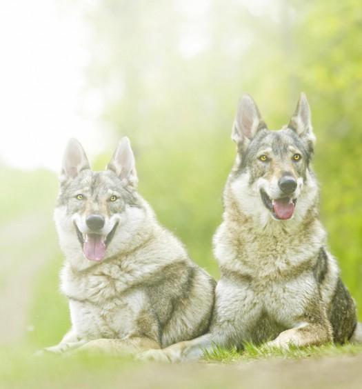 Le 13 cose che solo il padrone di un cane lupo cecoslovacco potrà capire
