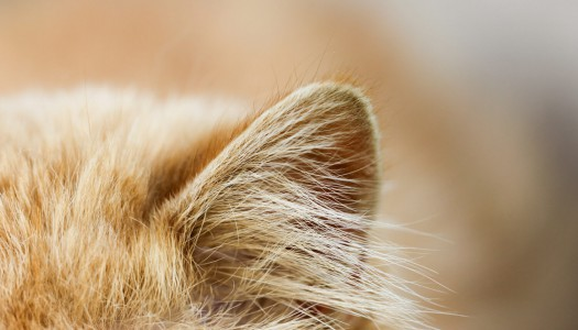 Cura del gatto: pulire le orecchie al gatto è importante!