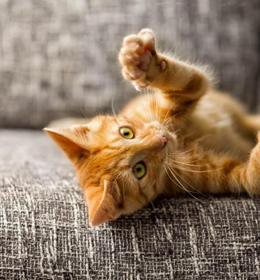 artigli del gatto