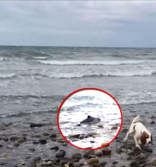 Cane salva un cucciolo di delfino spiaggiato