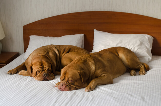 dogue de bordeaux pigro