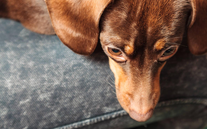 malattie del cane: leishmaniosi canina