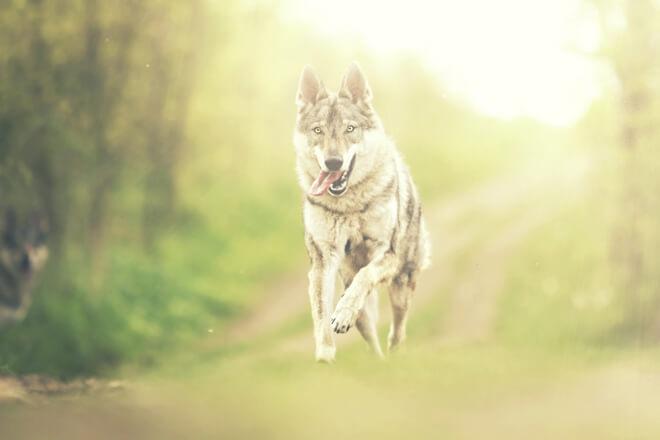 razza cane lupo cecoslovacco