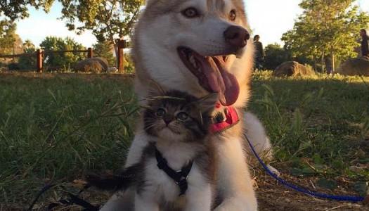 La gattina Rosie: la mia mamma è un Husky!