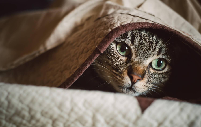 gatto che si nasconde sotto le coperte