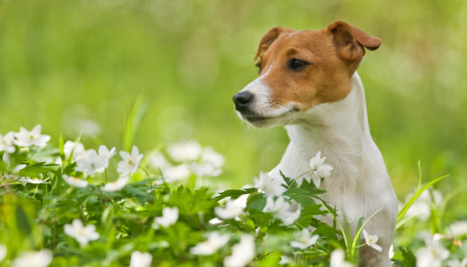 Jack Russell Terrier: 11 motivi per cui non è un peluche