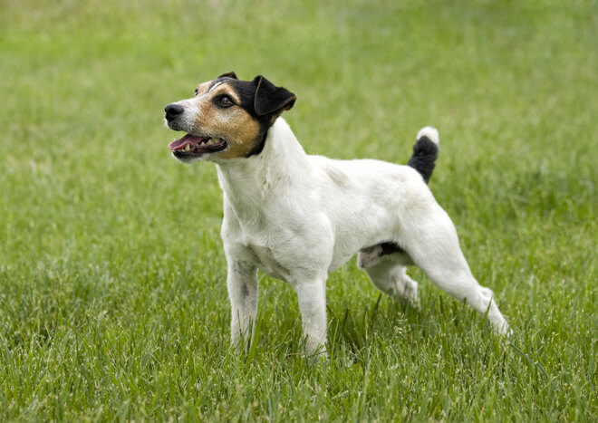 jack russell carattere