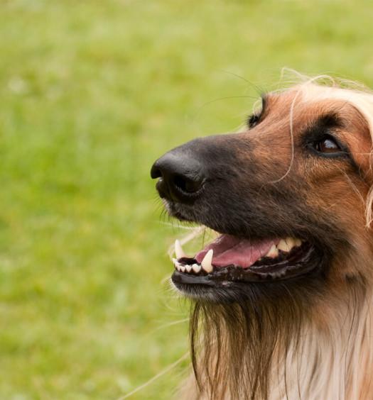 razze di cani levriero afgano