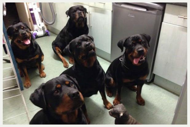 rottweiler salvano donna ferita
