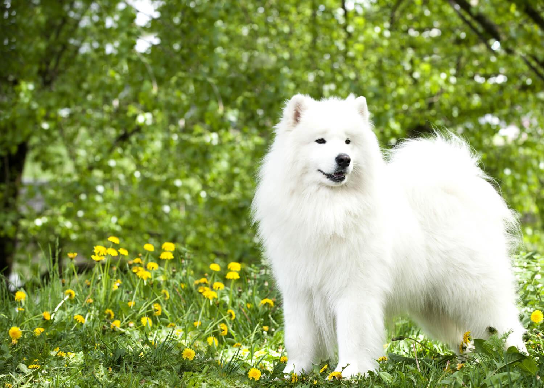 razze di cani samoiedo