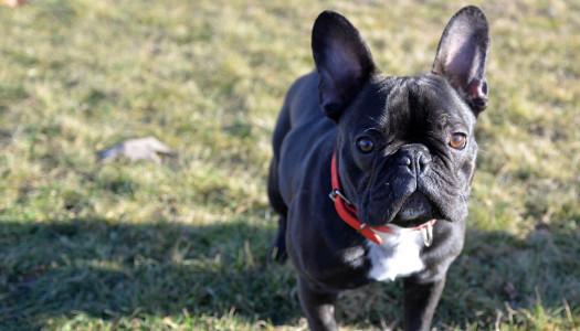 Bulldog Francese: storia, carattere e standard