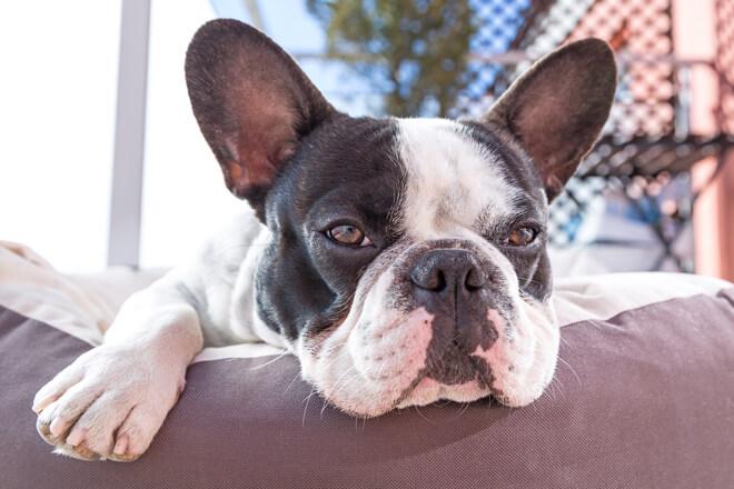 Bulldog Francese orecchie