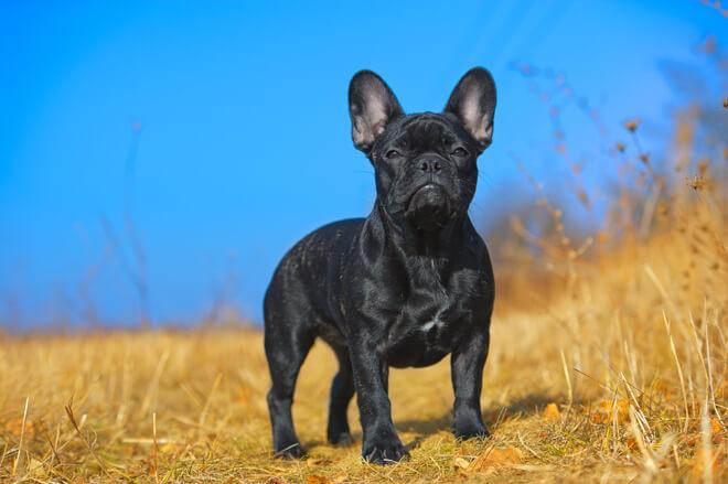 bulldog francese in posa