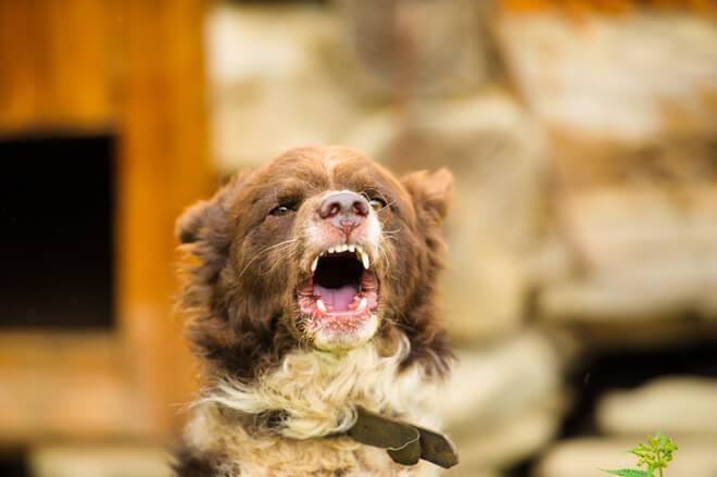 linguaggio-cane-ringhio