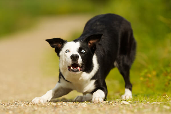 inchino cane