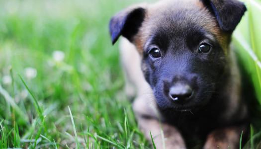Le fasi di accrescimento dei cuccioli di cane