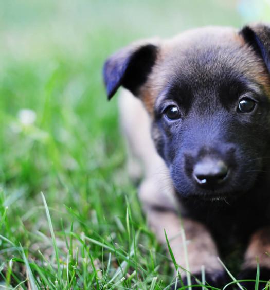 Fasi di accrescimento cucciolo di cane