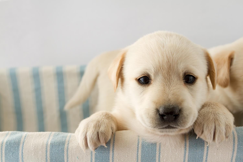La guida a i cuccioli di cane