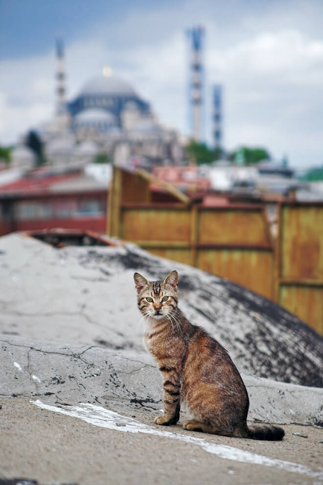 Nine lives film documentario sui gatti di Istanbul