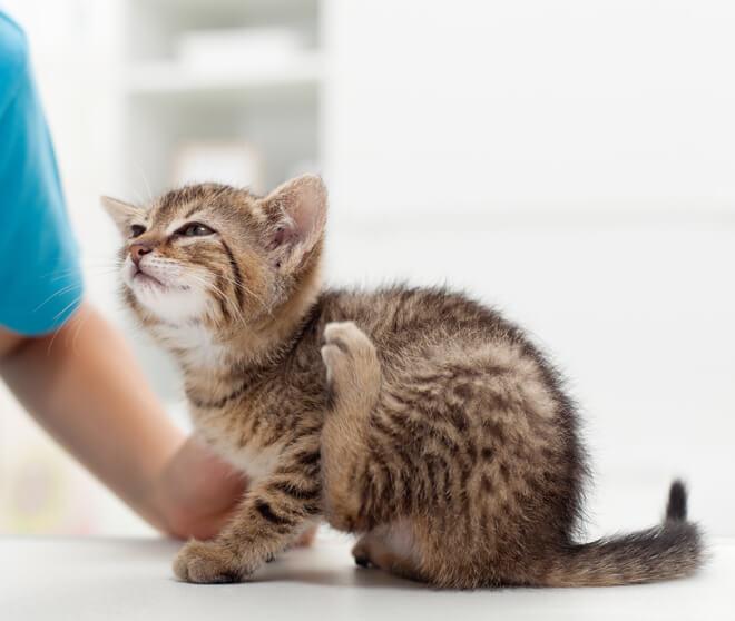 Trattamento antiparassitario gatto