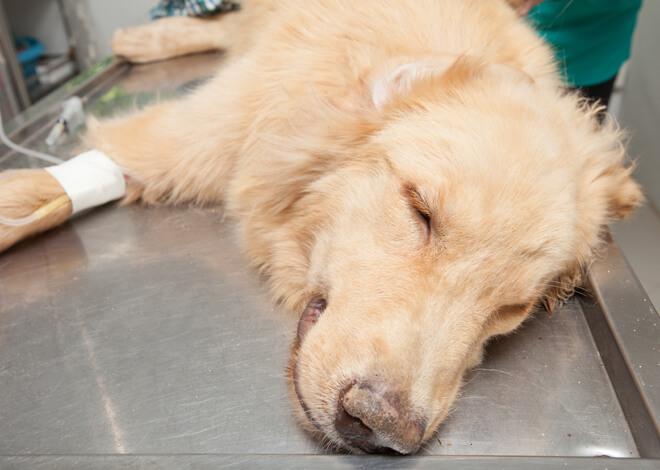 anestesia del cane