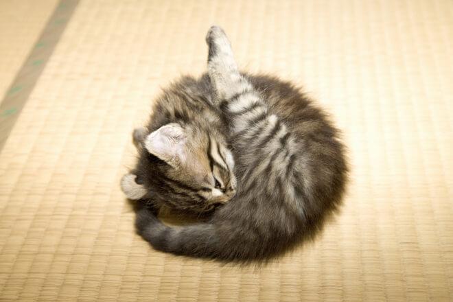 parassiti gattino