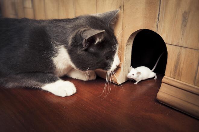 gatti e parassiti dei topi