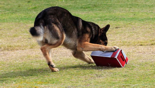 Problem solving e cani: imparare, giocando