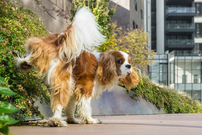 cane marca con l'urina