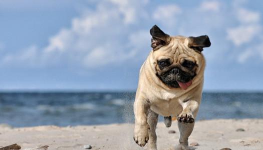 Carlino: gli 11 motivi per cui è un cane speciale