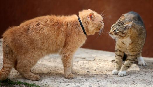 La castrazione del gatto