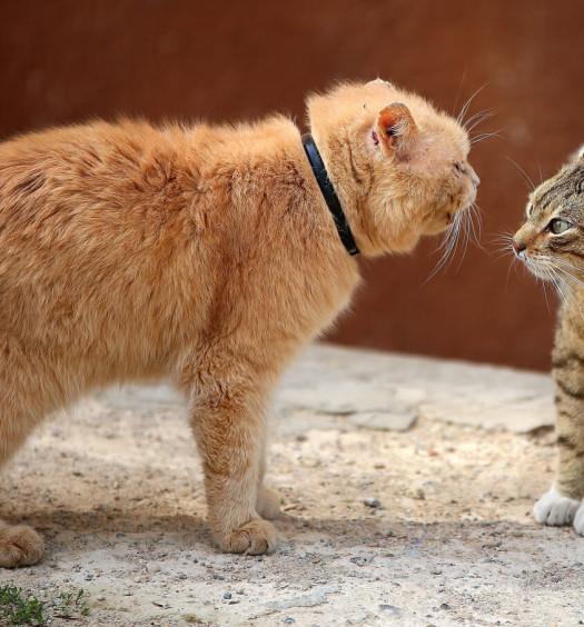 Castrazione del gatto