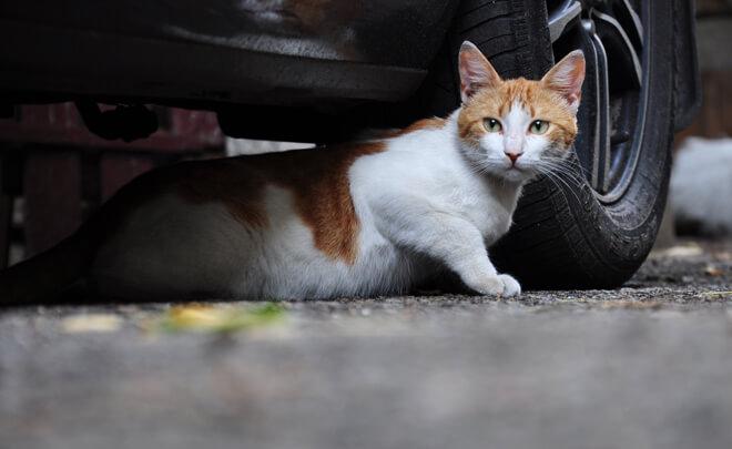 gatto sotto la macchina