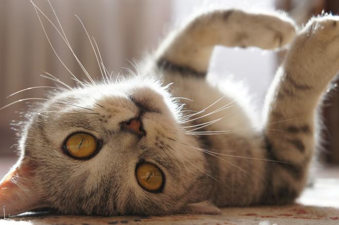 gatto che si rotola a pancia in su