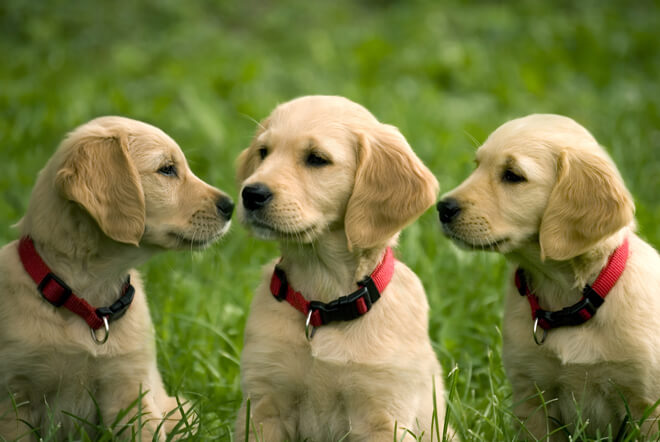golden retriever trio