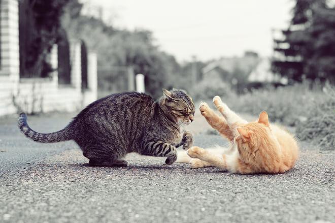 lotta tra gatti