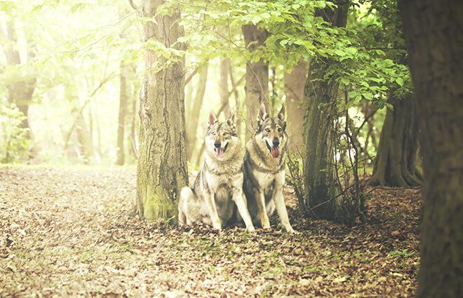 domesticazione cane lupo cecoslovacco