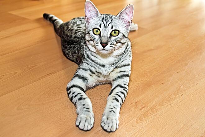 domesticazione gatto egizio