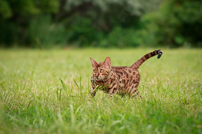 gatto cacciatore solitario