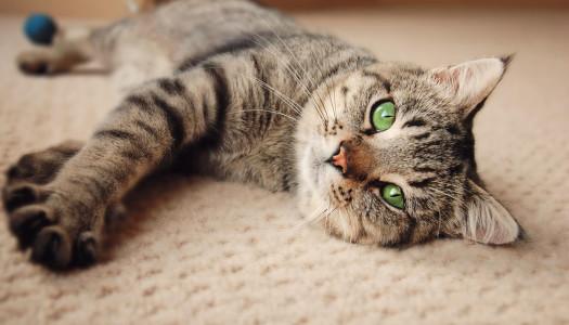 Comportamento dei gatti: sociale, solitario, indipendente… che confusione!