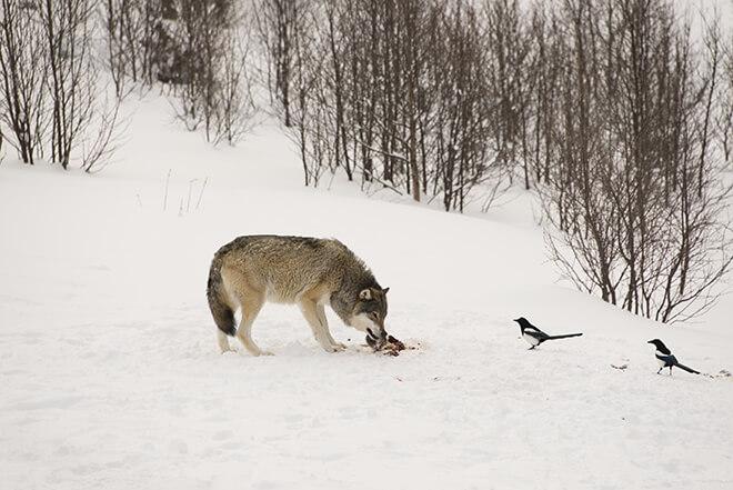 lupo e cibo