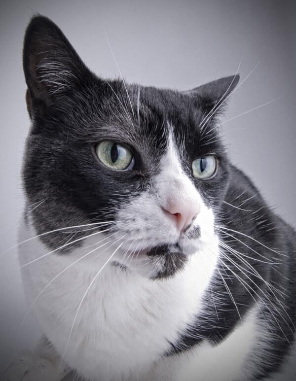 pelo del gatto pezze bianche