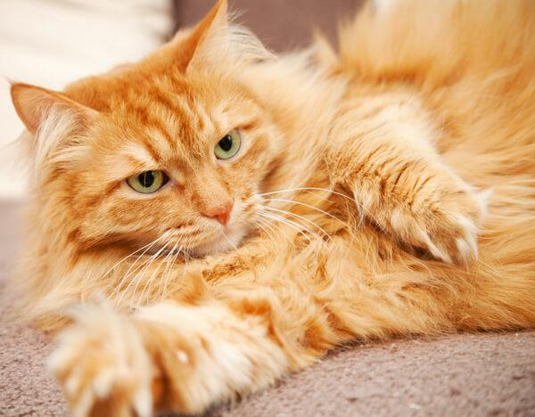 pelo del gatto rosso